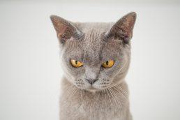 angry-animal-cat-1331821 (1)