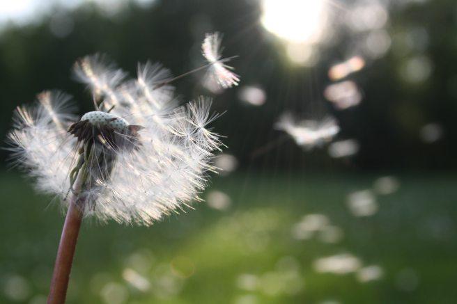 blowball-dandelion-dandelion-seed-54300