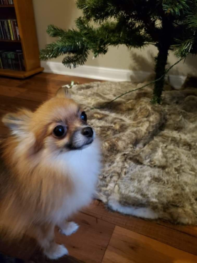 kona by the xmas tree