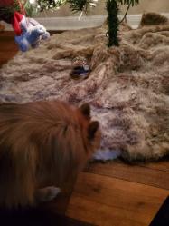 kona sniffing the xmas tree skirt