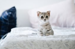 gray-and-white-kitten-on-white-bed-2061057